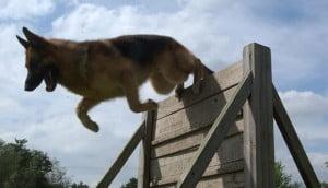 Un chien policier à l'entraînement, en Grande-Bretagne