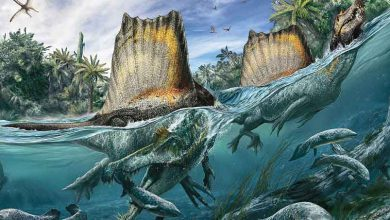 Illustration du Spinosaurus tirée de l'édition d'octobre du National Geographic.