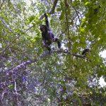 Observer les chimpanzés dans leur habitat avec Streetview