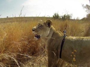 gopro-video-dune-lionne-en-train-chasser