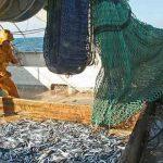 Les thoniers font remonter dans leur filet une part de «bycatch», des poissons qui ne sont pas leurs cibles.