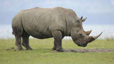 Un rhinocéros blanc près du lac Nakuru, au Kenya. Ces animaux sont parmi les plus menacés par le braconnage.