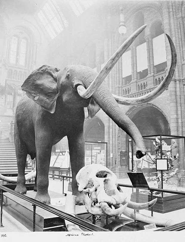 Éléphant d'Afrique dans la salle centrale (The Trustees of Natural History Museum, Londres, 1910)