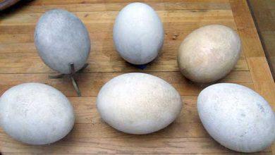 Un œuf préhistorique saisi par les douanes italiennes