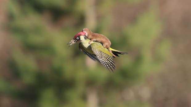 Une belette prend son envol sur le dos d'un pic-vert