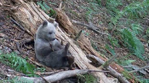 Le nombre d'ours augmente dans les Pyrénées