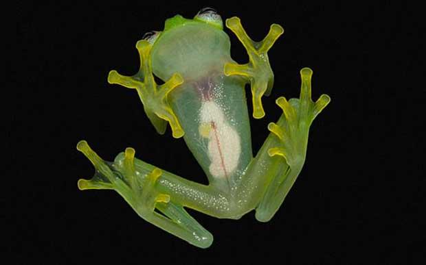Une incroyable espèce de grenouille découverte