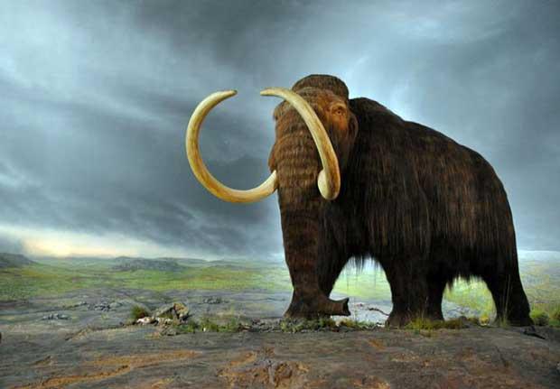 Le mammouth laineux pourrait à nouveau faire partie de ce monde