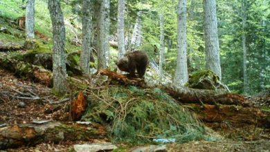 La population d'ours pyrénéens augmente mais reste fragile