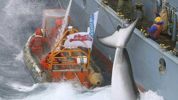 Japon : une récente étude crédibilise la chasse scientifique des baleines