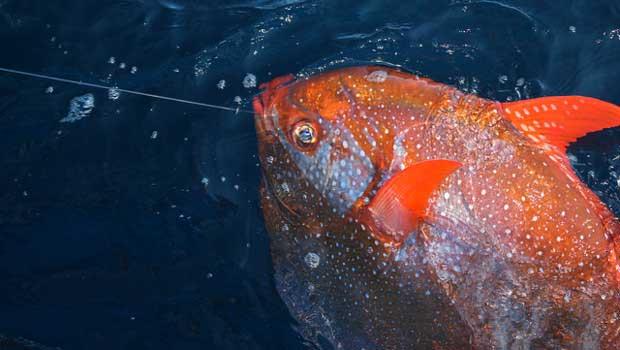 Ce poisson est la première espèce maritime à réchauffer délibérément son sang.