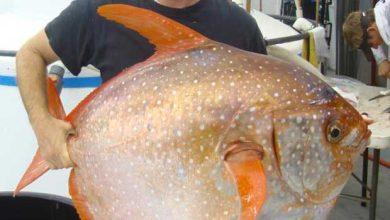 Le biologiste Nick Wegner avec un spécimen de poisson-lune capturé au large de la côte californienne, jeudi 14 mai 2015.