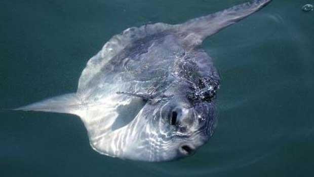 Le sang chaud du poisson-lune, avantage unique dans les mers froides