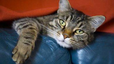 Risque de cécité pour les propriétaires de chat