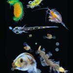 Organismes planctoniques collectés par Tara dans l'océan Pacifique grâce à un filet dont le maillage était de 0,1 mm.