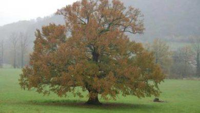 Le génome du chêne séquencé