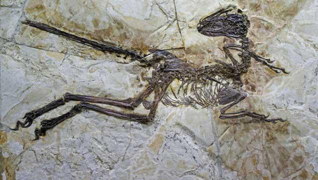 Scientific report - Nature - Le fossile du Zhenyuanlong suni, retrouvé en Chine