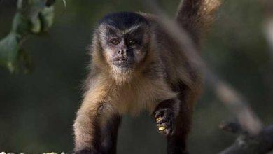 Les scientifiques ont fait passer le test à des Capucins (photo) et à des singes rhésus.