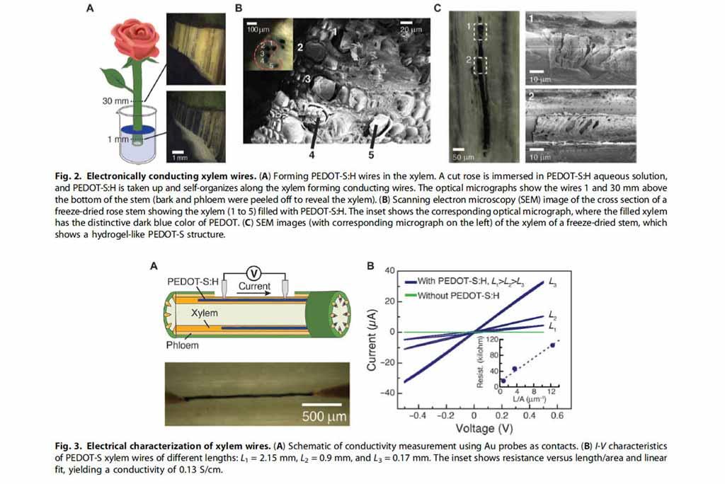 Une rose bionique intègre des cicuits électroniques à transistors