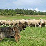 Le chien de berger agit selon un simple modèle mathématique