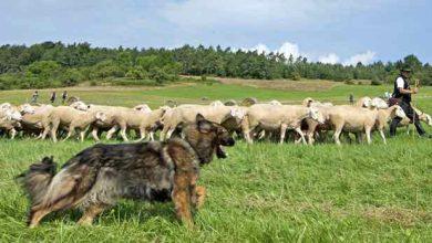 Photo de Des chercheurs modélisent l'algorithme du chien de berger