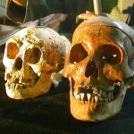 A gauche, le crane de l'Homme de Florès (Homo floresiensis), à côté du crâne d'un humain normal, lors de sa présentation à Yogyakarta, Indonésie le 5 novembre 2004.