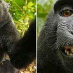 Quand un selfie pris par un singe entraîne une bataille de droits d'auteur !
