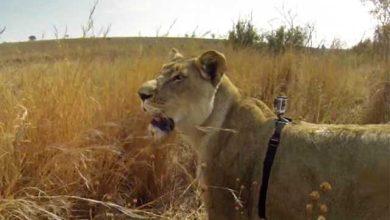 Photo of GoPro : la vidéo d'une lionne en train de chasser !