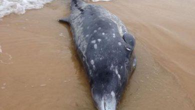 Photo of Insolite : une baleine à bec s'échoue en Australie