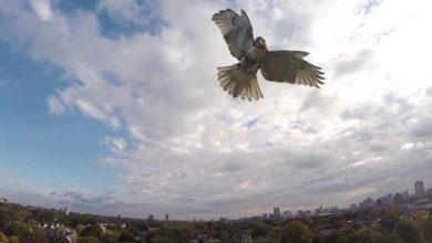 Une impressionnante vidéo d'un rapace attaquant un drone
