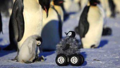Photo de Ils approchent des bébés manchots grâce à un robot-peluche