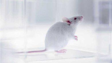 Photo de Création de « super souris » par injection de cellules de fœtus humain