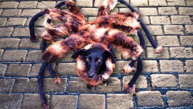Photo of YouTube : la vidéo d'un chien déguisé en araignée a été la plus vue en 2014