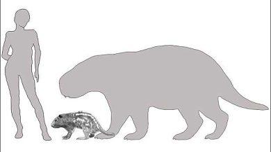Un rongeur de la taille d'un buffle parcourait la terre il y a 3 millions années