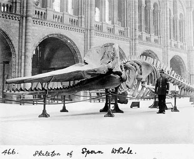 Un squelette de baleine dans la salle en 1901 (The Trustees of Natural History Museum, London)