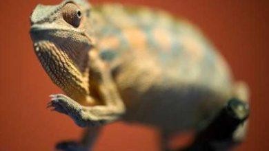 Des chercheurs expliquent le changement de couleur des caméléons