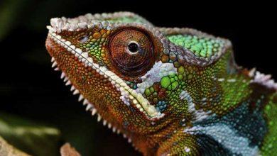 Photo of Des nanocristaux permettent au caméléon de changer rapidement de couleur
