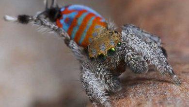 Photo de Découverte de deux nouvelles espèces d'araignées paons