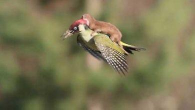 Photo de Pas de trucage pour cette belette juchée sur le dos d'un pivert en plein vol
