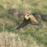 L'invraisemblable aventure du pic-vert portant une belette au dos en plein vol
