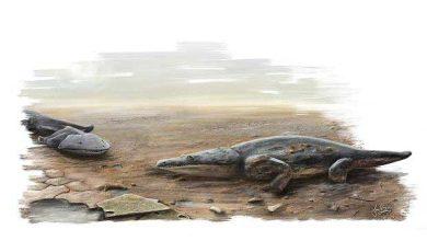 Photo de Une super-salamandre terrorisait la Terre il y a 220 millions d'années