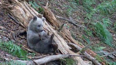 Photo of De plus en plus d'ours dans les Pyrénées
