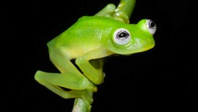 Photo de Découverte d'une grenouille transparente qui expose ses entrailles