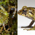 Une grenouille capable de changer la structure de sa peau