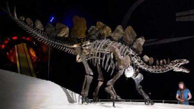 Photo de Les stégosaures se différenciaient par la forme des plaques sur le dos