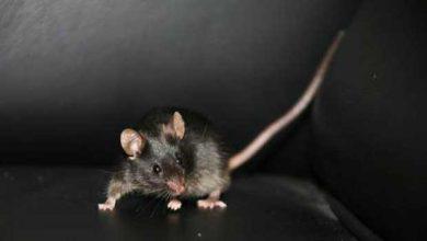 Des chercheurs bernois rendent la vue à des souris
