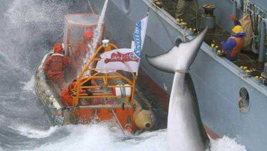 Photo of Japon : des vertus scientifiques pour crédibiliser la chasse des baleines