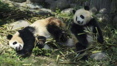 Photo of Le panda a tout faux depuis deux millions d'années !