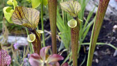 Photo of Sarracénie : la plante carnivore qui décime les frelons asiatiques