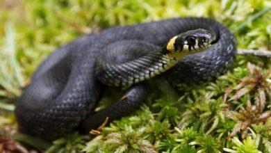 Le fossile d'un serpent à pattes qui remet en cause les ancêtres aquatiques des serpents